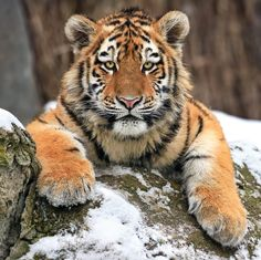 Amur Tiger; Look into my eyes by Klaus Wiese on 500px