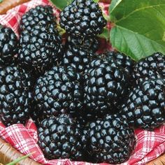 Sweet and tasty, blackberries are full of nutrients, including antioxidants. Most blackberry plants grow in zones Gurney's has many thornless blackberry varieties. Blackberry Plants, Fruit Plants, Fruit Trees, Trees To Plant, Japanese Lilac Tree, Thornless Blackberries, Raised Bed Garden Design, Diy Trellis
