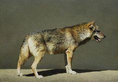 Marzio Tamer, Italian wolf, tempera on board, cm 42 x 60. www.salamongallery.com