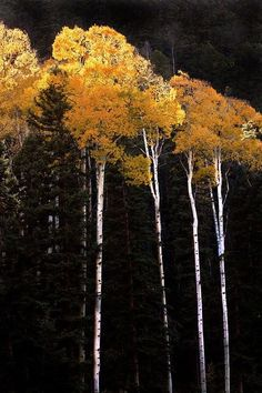 Aspen tree stands grow from a single seedling, so their roots are all interconnected. That's why a group of aspen trees is the same height--their roots are the same organism! Tree World, Aspen Trees, Birch Trees, Foto Art, Tree Forest, Plantar, Mellow Yellow, Tree Art, Beautiful World