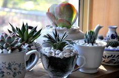 Tea cup succulents.