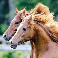 Artistes au repos!  Les chevaux de Cavalia