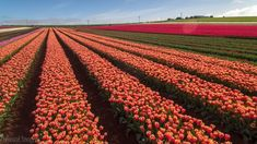 Tulips in the Afternoon Sun (Tasmania, Australia)..here is a larger tulip farm close by at Table Cape but this one caught my eye due to the dramatic backdrop overlooking Bass Straight