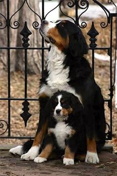 Bermese (sic) Mountain dogs - LOVE this breed, even though I don't believe in breeding when so many others need adoption!
