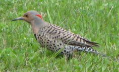 flicker+bird | Northern Flicker Yellow-Shafted. (click to return to the Index.)