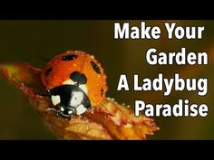 How to identify ladybugs (ladybirds) in all their life stages, and how to attract more to your garden. Garden Bugs, Garden Pests, Do It Yourself Projects, Make It Yourself, Ladybug House, Scale Insects, Farmers Almanac, Yard Care, Garden Planner