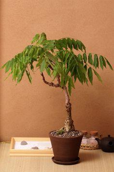 Modern bonsai Nakamuraya