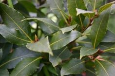 Part 2 BAY SWEET BAY/LAUREL Laurus nobilis Bay is a tender perennial, and when temperatures get below 40 degrees, flourishes indo. Vegetable Garden, Plants, Fruit Trees, Organic Gardening, Bay Leaves, Garden Plants, Herbs, Plant Leaves, Organic Vegetable Garden