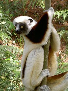 Lémurien Sifaka roux #madagascar                                                                                                                                                                                 More