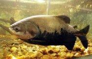 Peixes de água doce do Brasil - Tambaqui (Colossoma macropomum) #alcanceosucesso