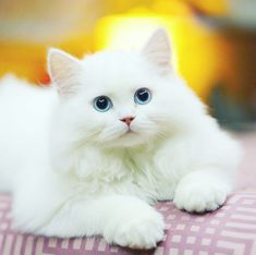 Cats Are Not Just White Cats Albino cats are not simply white cats. Here's everything you need to know about albino kitties.Albino cats are not simply white cats. Here's everything you need to know about albino kitties. Cute Cats And Kittens, Baby Cats, Cool Cats, Kittens Cutest, Baby Animals, Funny Animals, Cute Animals, Newborn Kittens, Ragdoll Kittens