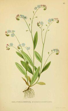 131337 Myosotis scorpioides L. / Lindman, C.A.M., Bilder ur Nordens Flora, vol. 1: t. 81 (1922-1926)