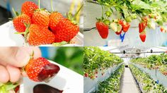 桃の香りがするイチゴ「桃薫」や希少種「よつぼし」が食べ放題の「いちごの堺」でイチゴ狩りレポ - GIGAZINE