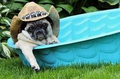 This it what Texas Pugs do to keep cool!