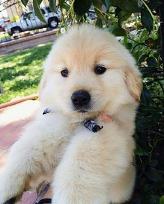 Golden Retrievers are one of the most honest dog breeds you'll ever encounter. Cute Puppies, Cute Dogs, Dogs And Puppies, Doggies, Fluffy Animals, Cute Animals, Golden Retriever Training, Puppy Stages, Golden Puppy