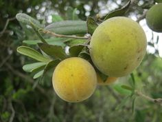 Monkey plum (Diospyros dichrophylla) - Native to South Africa, the plant is a dioecious shrub or tree to 13m with large fruit, velvety, calyx strongly accrescent, usually reflexed