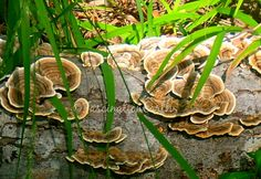 #Fungus Growing on a Fallen Log Near a Pond in Raleigh NC. #NaturePhotography #mushrooms #fungi #FallenLog #woodsy #forest #woodland