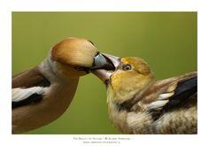 Appelvink voert... Appelvinken hebben een zeer krachtige snavel. Uit onderzoek blijkt dat deze zangvogels maar liefst 50 kilogram aan drukkracht kunnen uitoefenen met hun kaken. Daarmee kunnen ze moeiteloos een kersenpit openkraken. Fotograaf: AldertV. Close-up van het voermoment van deze jonge appelvink. Nederlandse naam: Appelvink Wetensch. naam: Coccothraustes coccothraustes