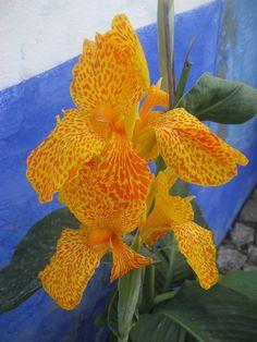 Flor  crista-de-lobo #Photo by NuCeu