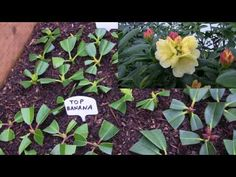 Rhododendron Propagation 2016 is Complete at Kincaid's Nursery. - YouTube