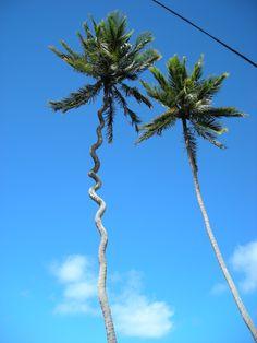 Le seul cocotier tordu parait-il ? Plants, Coconut, June, Travel, Plant, Planets