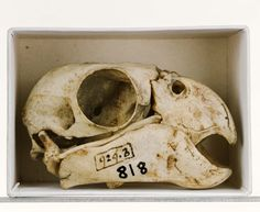 "A.R. Wallace: ""Parrot skull. Copyright University Museum of Zoology Cambridge & Fred Edwards."""