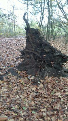 Wortel van omgevallen boom.