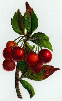 """<span class=""""caption_text"""">Vintage fruit clip art: red cherries hanging in a bunch</span>"""