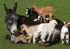 Ezel met geitjes . . .having baby goats around is about like having a basket of puppies!!