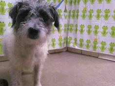 (URGENT) DUE OUT DATE- 6/18/13 TUESDAY -Animal ID: A267039    Room No.: WDI02  Hi, I am an approximately 2 year old white and gray female Jack Russ Terr-Mix.   I am friendly & I tested heartworm negative. I weigh approximately 16 pounds. I have been at Orange County Animal Services since Tuesday, June 11, 2013. My due out date is Tuesday, June 18, 2013.  Please come to Orange County Animal Services at 2769 Conroy Rd., Orlando, FL. The phone number is (407)254-9140
