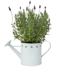 Send a plant and buy plant gifts delivered FREE Aust wide. Huge range of herb gardens and flowering plants. Lavender Plants, Plants Online, Flower Delivery, Lush, Herbs, Flowers, Gifts, Presents, Herb