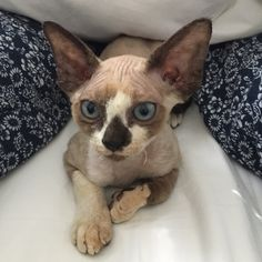 Noki the Devon Rex