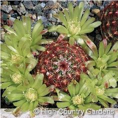 "Echinocereus viridiflorus.  Green Flowered Hedgehog.  Grows to 12"".  Green flowers ring the stem in late spring.  Cold hardy"