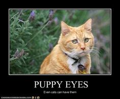 """""""PUPPY EYES"""" by Birdy85 at icanhascheezburger. lolcats, cats"""