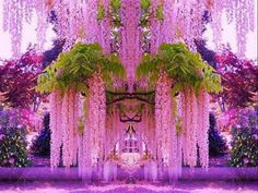 Purple Wisteria in Japan.