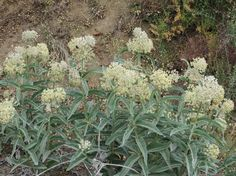 woollypod milkweed plants profile, on a sandy edge, at about 2' high, looking high in clear sky for returning monarchs