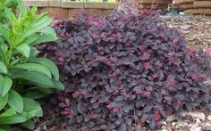 purple pixie loropetalum - Easy to grow, low maintenance groundcover shrub holds rich purple foliage year round. Purple Pixie® is great as a border edger, in mass plantings, on slopes or cascading over retaining walls. Landscaping Plants, Plants, Winter Landscape, Shrubs, Purple Pixie Loropetalum, Garden Types, Winter Garden, Winter Plants, Buy Plants