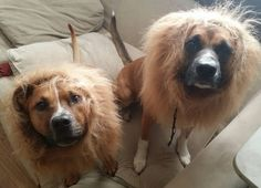 I bought lion manes for my dogs. - http://ift.tt/2fnj8Ws