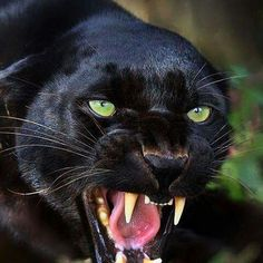 Black Jaguar  Photo by unknown