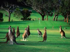 Mob of Kangaroos Gather on the Ninth at the Anglesea Golf Club Victoria