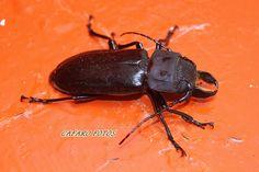 escarabajo 10 cm