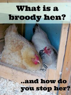 """If you are raising chickens or ducks you are bound to come across the term """"broody"""". What does it mean, why does it happen and is it something you need to worry about? Best Egg Laying Chickens, Raising Backyard Chickens, Backyard Poultry, Keeping Chickens, Chicken Roost, Chicken Garden, Chicken Life, Farm Chicken, Chicken Ideas"""