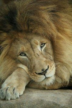 Cecil the lion - rip sweet king!
