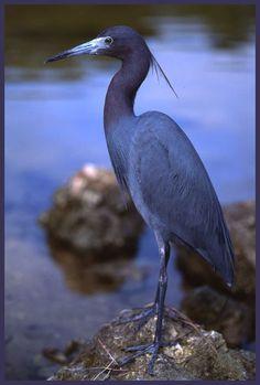 Little Blue Heron via davidfingerhut.com