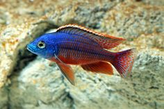 What You Should Know about Cool Aquarium Fish : Cool Freshwater Fish For Aquariums. Cool freshwater fish for aquariums. Tropical Freshwater Fish, Tropical Fish Aquarium, Freshwater Aquarium Fish, Saltwater Aquarium, Cichlid Aquarium, Malawi Cichlids, African Cichlids, Guppy, Aquascaping