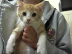 COME DOWN & SEE ALL THE ADORABLE  KITTENS WE HAVE!!!! Western PA. H.S.>>>>NORTHSIDE PITTSBURGH, PA..PetHarbor.com: Animal Shelter adopt a pet; dogs, cats, puppies, kittens! Humane Society, SPCA. Lost & Found. PICTURED: GILBERT