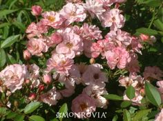 Monrovia's Sunrosa™ Soft Pink Shrub Rose details and information. Learn more about Monrovia plants and best practices for best possible plant performance.