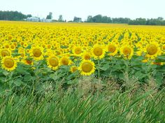 a thousand acres of happy sunflower faces along the highway - Manitoba Weather Network, O Canada, Happy Flowers, Largest Countries, American Country, Natural Resources, Sunflowers, Old Houses, Home Buying