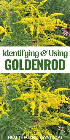 Learn how to identify and use goldenrod, an easy-to-find edible wild plant with many useful medicinal properties. #foraging #medicinalplants #herbalism #herbalmedicine Natural Remedies For Allergies, Allergy Remedies, Wild Parsnip, Goldenrod Flower, Benefit, Herbalism, Edible Wild Plants, Green Living Tips, Infused Oils