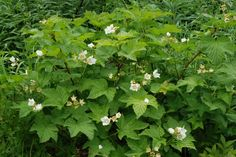 Rubus parviflorus — self-sows; can be invasive